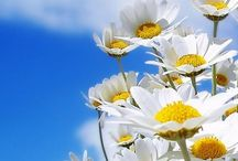 I love my Daisy's,,, / Wild flowers everywhere,,,