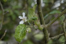 Celestine Retreat Orchard / We have 3 Apple Trees, Nectarine, Plum, Apricot, Fig and Loquat, the blossom is stunning
