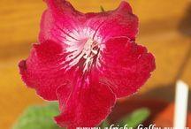 Streptocarpus / Photos of my streptocarpus