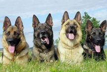 All Good Dogs! / by noreen scully