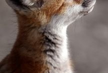 Foxes and more cute animals