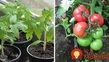 pestovanie rajcin