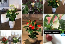 anthurium / Anthurium originally came from the rain forests of Colombia. In recent years there has been an increase in the colour diversity as a result of selection. The long vase life is a added value.