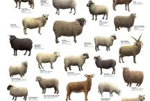 Wool & Sheep