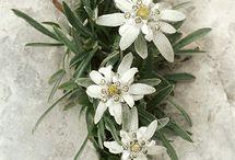 edelweisse