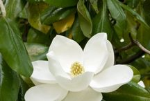 Magnolia- Flower of the South / www.antebelluminn.com