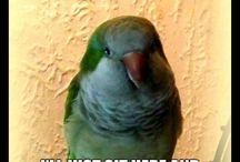 Quaker Parrots xD