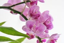 Flowers-Orchids