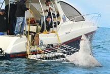 #Sharkcagedive / Shark Cage Diving with @whitesharkco