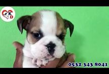 ENGLİSH BULLDOG