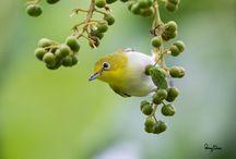 Cara Mengetahui Kesehatan Burung Pleci dari Bentuk Kotoran