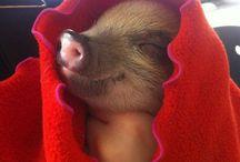 Lovely Piggy Pet