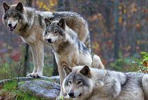 Pets : Wolf