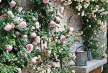 Climbing rose