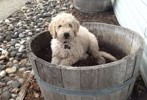 """Doodle Days / Living with and loving """"doods""""...especially Fiona, a standard goldendoodle."""