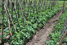 cultura tomate in spatii neprotejate