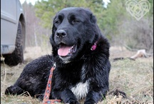 Central Asian Shepherd Dog / International Dog's Personal Websites Catalogue