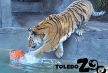 Tigers / Our tigers are Amur tigers (formerly known as Siberian tigers). They love splashing in the water and playing in the snow!