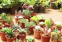 Succulents & cactus / It's about more than 50 types of succulent & cactus available at Rolling Nature!