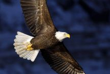 Eagles on the wind