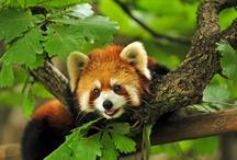 Red Pandas