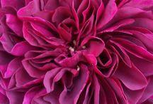 Roses du jardin / Rose
