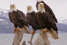 Bald Eagles / by Micheal