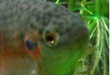 Aquabonics, aquarium,fish and chili / Aquarium pondfishes, aquabonics and chili