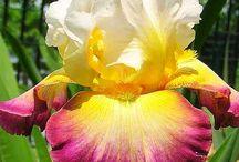 Iris I would like to plant