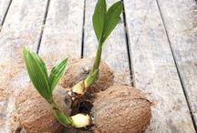 Kokospalme selber ziehen