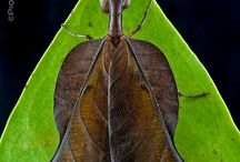 mantis n more