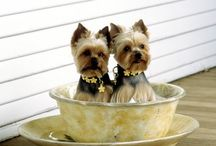 Yorkies / The breed