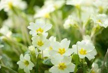 Spring vårblommor