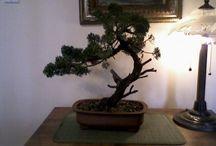 BONSAÏ et PENJING (1) / bonsai et penjing / by Robert Biard
