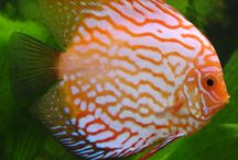 """# Discus Fish - collaboration / keywords -> discus, aquarium, pure water, water, fish tank, etc.... ---------------------------- If You want to pin to this board, first, follow me, then  comment """"@showboo - invite me"""" to my pin, or send me message from my profile. / by showBOO K"""