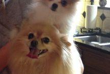 Dogs, Pomeranian 1.