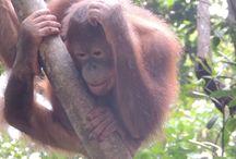 Borneo / Orang Utans