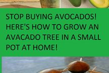 How To Grow Avacado