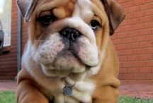 English Bulldog / Fabulous English Bulldogs