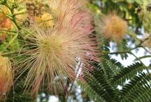 Albizia julibrissin / Acacia di Costantinopoli. Albero della Seta Persiano. Persian Silk Tree. Pink Silk Tree.