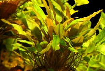 Aquarium Plants / Live aquarium plants add beauty and help improve the water quality, but live plants take quite a bit of skill, which takes time to learn. To see more live Aquarium Plants click on a link below one of the pictures on this page or go to ... http://www.AquariumFish.net/catalog_pages/plants/plants.htm#top2 / by AquariumFish.net