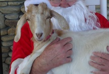 Frosty's Fun Facts / Frosty the goat is a rascal who keeps us on our toes at the farm.