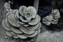 SMYRNA MUSHROOMS / Sera ortamında ürettiğimiz mantarlar