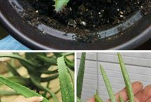 Aloe Vera how to grow