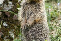 Marmotte, scogliattoli, criceti  e altri amici
