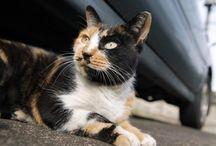 Bobcat cat