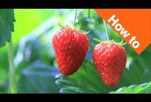 Strawberry Garden Tips
