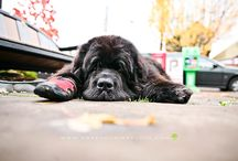 Newfoundlands / by Merilee Moscardelli