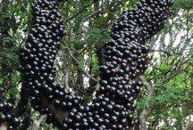 Jabuticaba , Brazilian grape tree