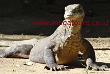 Travel to Komodo island / Indonesia tours and Travel Company arrange all kind of tours and Travel to the island of: Flores, Komodo national park and other part of Indonesia